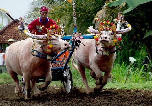 Гонка быков - экзотическое развлечение на не менее экзотическом Бали